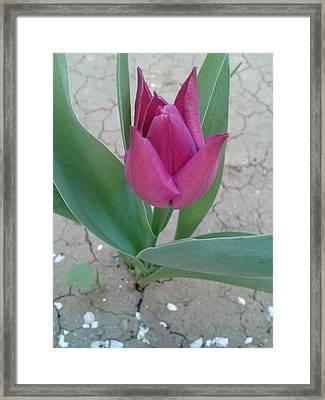 Tulip Framed Print by Andreea Alecu