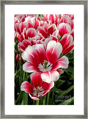 Tulip Annemarie Framed Print by Jasna Buncic