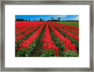 Tulip Cornucopia Framed Print by Inge Johnsson