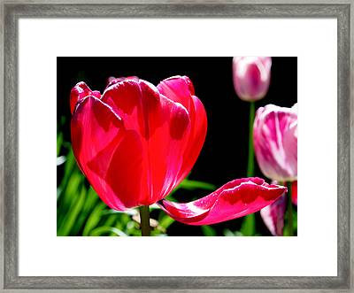 Tulip Extended Framed Print by Rona Black