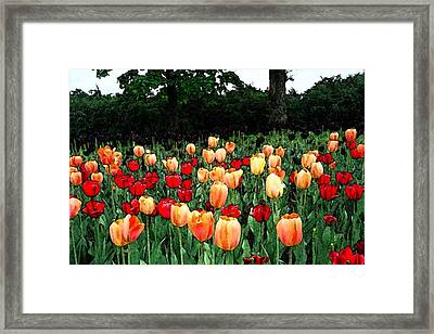 Tulip Festival  Framed Print by Zinvolle Art