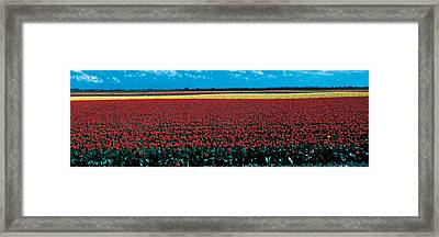 Tulip Field Near Spalding Lincolnshire Framed Print by Panoramic Images