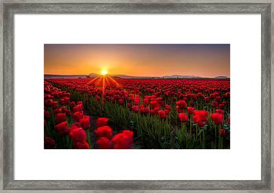 Tulip Fields Framed Print by Alexis Birkill