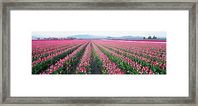 Tulip Fields, Skagit County, Washington Framed Print by Panoramic Images