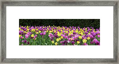 Tulip Flowers In A Garden, Chicago Framed Print by Panoramic Images