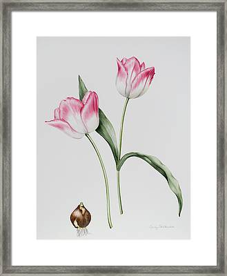 Tulip Meissner Porcellan With Bulb  Framed Print by Sally Crosthwaite