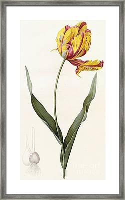 Tulip Framed Print by Pierre Joseph Redoute