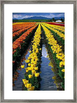 Tulip Reflections Framed Print by Inge Johnsson