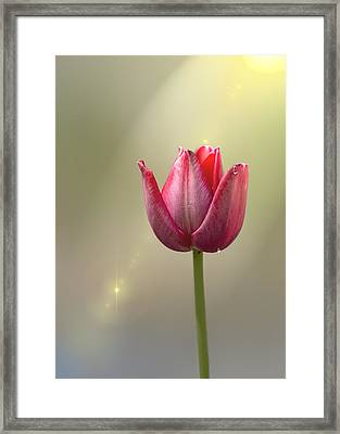 Tulip Stands Alone Framed Print by Bill Tiepelman