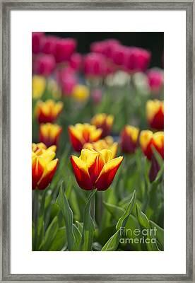 Tulipa Reputation Framed Print by Tim Gainey
