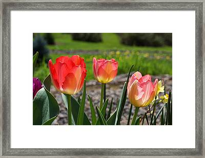 Tulips Red Pink Tulip Flowers Art Prints Framed Print by Baslee Troutman