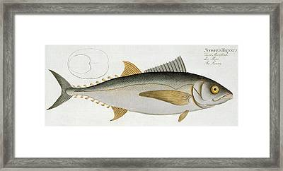 Tuna Framed Print by Andreas Ludwig Kruger
