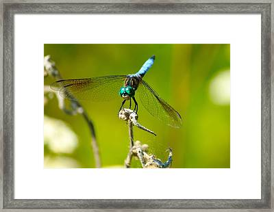 Turquoise Dragonfly Framed Print by Lorri Crossno