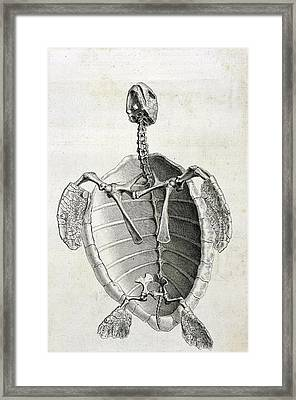 Turtle Anatomy Framed Print by British Library