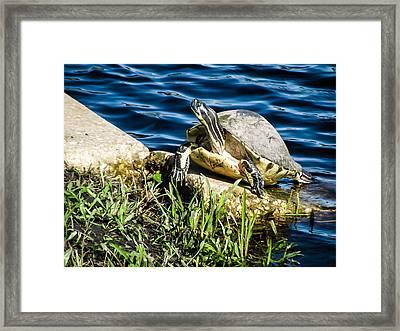 Turtle Eye Framed Print by Zina Stromberg