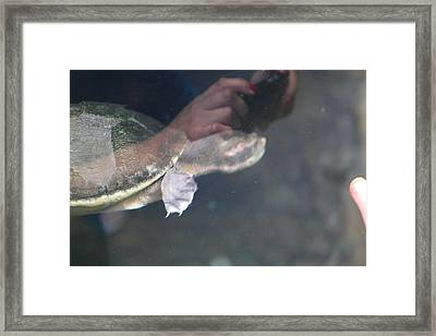 Turtle - National Aquarium In Baltimore Md - 121223 Framed Print by DC Photographer