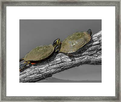Turtles At Swan Park Framed Print by John Straton