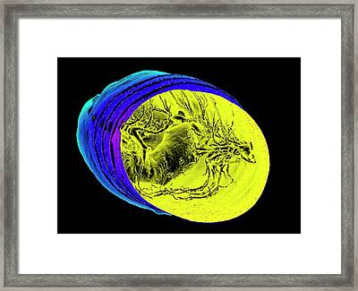 Tussock Moth Pupa Framed Print by K H Fung