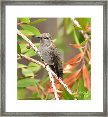Twiggy On The Bottlebrush Framed Print by Debby Pueschel