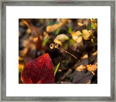 Twin Spotted Wintergreen Pods Framed Print by Douglas Barnett