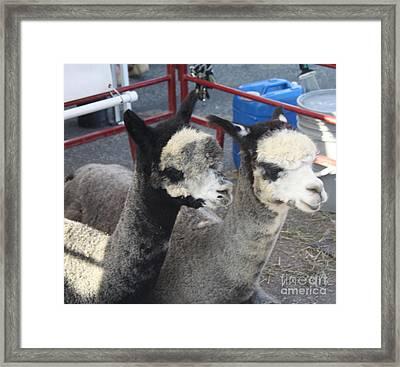 Two Alpacas Framed Print by John Telfer