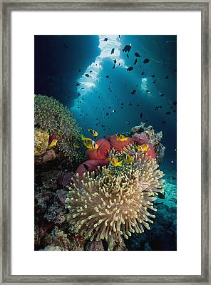 Two-banded Anemonefish And Bulb Framed Print by Dray van Beeck