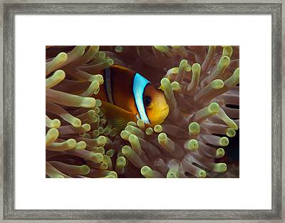 Two-banded Anemonefish Red Sea Egypt Framed Print by Eric Gibcus