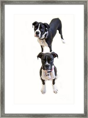 Two Boxers Framed Print by Rebecca Cozart