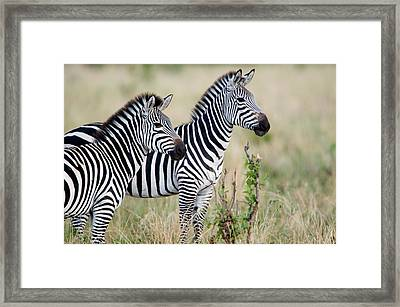 Two Burchells Zebras Equus Burchelli Framed Print by Panoramic Images