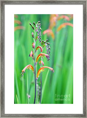 Two-colour Cobra Lily Framed Print by Neil Overy