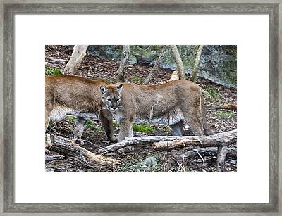 Two Cougars  Framed Print by Chris Flees