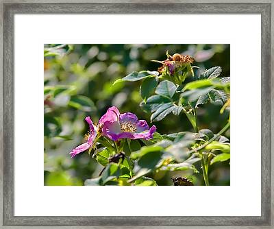 Two Dogroses Summer 2014 Framed Print by Leif Sohlman