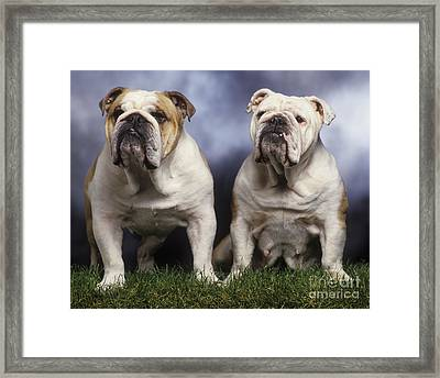 Two English Bulldogs Framed Print by Jean-Michel Labat
