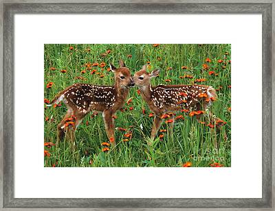 Two Fawns Talking Framed Print by Chris Scroggins