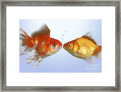 Two Fish Kissing Fs502 Framed Print by Greg Cuddiford