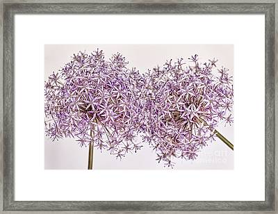 Two Flowering Onions Framed Print by Elena Elisseeva