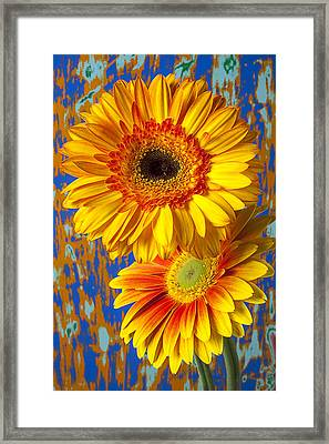 Two Golden Mums Framed Print by Garry Gay