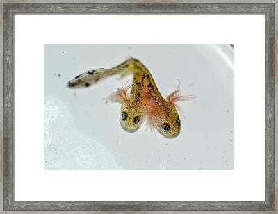 Two-headed Salamander Tadpole Framed Print by Photostock-israel