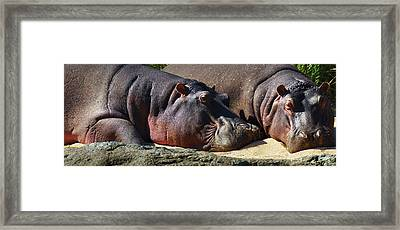 Two Hippos Sleeping On Riverbank Framed Print by Johan Swanepoel