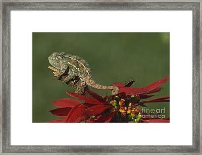 Two-lined Chameleon Framed Print by Art Wolfe