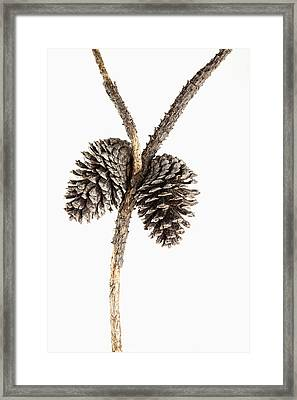 Two Pine Cones One Twig Framed Print by Carol Leigh
