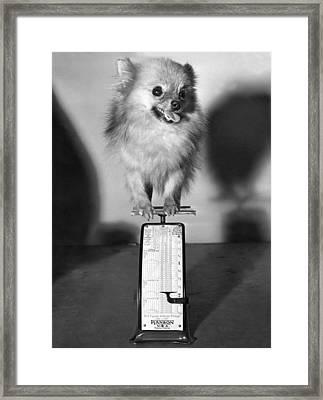 Two Pounds Of Pomeranian Framed Print by Underwood Archives