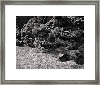 two Puffer fish Framed Print by Chris Flees