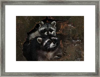 Two Raccoons Framed Print by Ulrich Kunst And Bettina Scheidulin