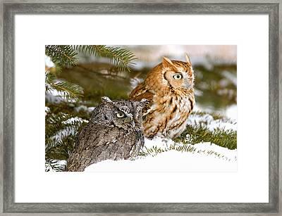 Two Screech Owls Framed Print by John Pitcher