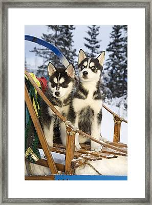 Two Siberian Husky Puppies Sitting In Framed Print by Jeff Schultz