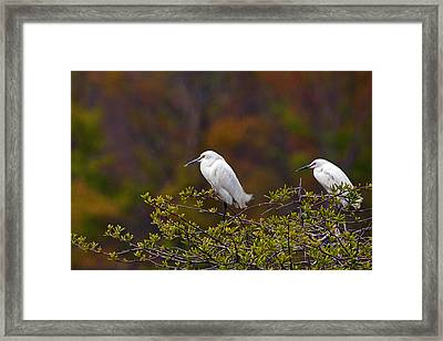 Two Snowies Framed Print by Benjamin DeHaven