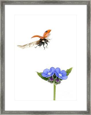 Two Spot Ladybug Framed Print by Mark Bowler