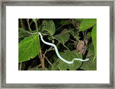 Two-striped Forest Pitviper Framed Print by Dr Morley Read