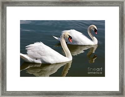 Two Swimming Swans Framed Print by Carol Groenen